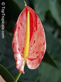 Anthurium hybrid Shibori, Flamingo Flower, Variegated Flower Anthurium  Click to see full-size image