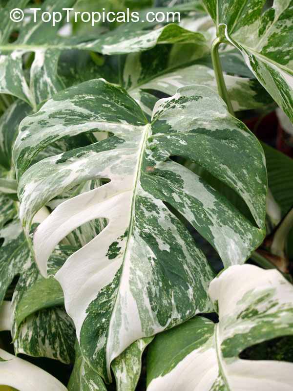 Monstera deliciosa, Philodendron pertusum, Swiss Cheese Plant, Fruit