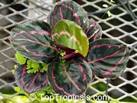 Calathea x roseopicta 