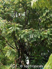 Murraya koenigii, Curry leaf  Click to see full-size image