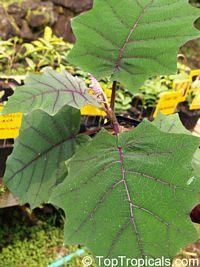Solanum quitoense, Solanum angulatum, Naranjilla, Naranjillo, LuloClick to see full-size image