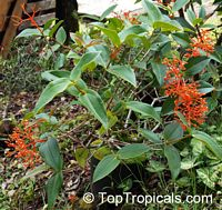 Medinilla scortechinii, Orange medinilla, Orange Spike  Click to see full-size image