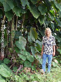 Macaranga grandifolia, Macaranga longifolia, Macaranga mappa, Macaranga, Nasturtium Tree, Parasol Leaf Tree, BingabingClick to see full-size image