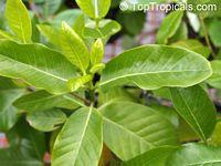 Gardenia brighamii, Native Hawaiian Gardenia Nau  Click to see full-size image