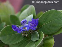 Vitex rotundifolia, Beach Vitex, Pohinahina, Roundleaf Chastetree, Kolokolo, KahakaiClick to see full-size image