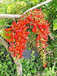 Mucuna benettii, Mucuna bennettii, Mucuna warburgii, Mucuna albertisii, Mucuna novoguineensis, Red Jade Vine, New Guinea Creeper  Click to see full-size image