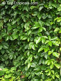 Tetrastigma voinierianum, Cissus tetrastigma, Lizard Plant, Chestnut Vine, Giant Grape Ivy, Wild Grape  Click to see full-size image