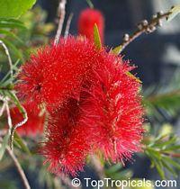 Callistemon sp., BottlebrushClick to see full-size image