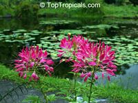 Cleome hassleriana, Cleome spinosa, Spider Flower, Crown Flower