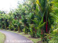 Cyrtostachys lakka, Cyrtostachys renda, Lipstick Palm, Sealing Wax PalmClick to see full-size image