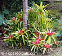 Neoregelia sp., Bromeliad  Click to see full-size image