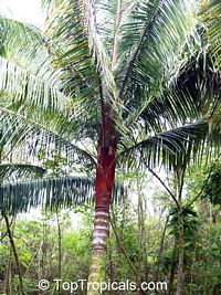 Dypsis leptocheilos - Teddy Bear Palm, Redneck Palm  Click to see full-size image