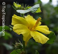Hibiscus sp., Hibiscus