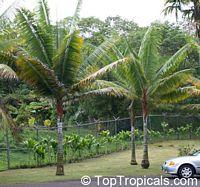 Dypsis lastelliana, Neodypsis lastelliana, Redneck Palm, Teddy Bear Palm  Click to see full-size image