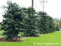 Coffea arabica, Coffee