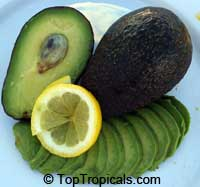 Persea americana - Avocado Kampong (Sushi Avocado), Grafted  Click to see full-size image