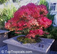 Acer sp., Red Maple, Soft Maple