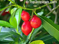 Ochrosia elliptica, Bloodhorn, Mangrove OchrosiaClick to see full-size image