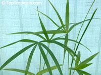 Euterpe precatoria, Euterpe mollissima, Euterpe jatapuensis, Euterpe stenophylla, Euterpe langloisii, Euterpe petiolata, Euterpe subruminata, Euterpe confertiflora, Huassai, Chonta, Asai, Assai, Acai, Mountain Cabbage Palm  Click to see full-size image