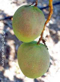 Mangifera indica - Beverly Mango, Grafted
