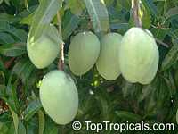 Mangifera indica - M4 Mango (Candy Sweet), Grafted  Click to see full-size image