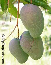 Mangifera indica - Lady Choice, Large size, Grafted  Click to see full-size image