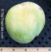Mangifera indica - Edward Mango, Large size, Grafted  Click to see full-size image