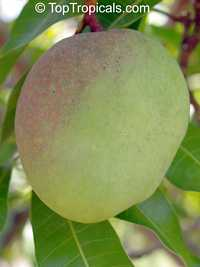 Mangifera indica - Graham, Large size, Grafted  Click to see full-size image