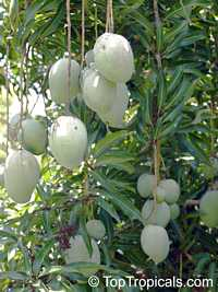Mangifera indica - Ice Cream Mango, Grafted  Click to see full-size image