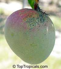 Mangifera indica - Kent Mango, Grafted  Click to see full-size image