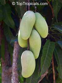 Mangifera indica - Keo Sevoy Mango, Grafted  Click to see full-size image