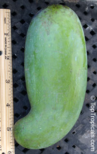 Mangifera indica - Mun Kun Si Mango, Grafted  Click to see full-size image