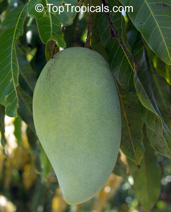A typical image of an unripened mango fruit