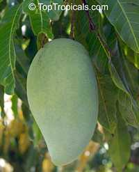 Mangifera indica - Fralan Mango, Grafted