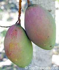 Mangifera indica - Bombay Mango, Grafted  Click to see full-size image