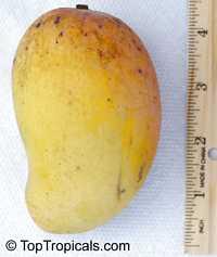 Mangifera indica - Neelum Mango, GraftedClick to see full-size image