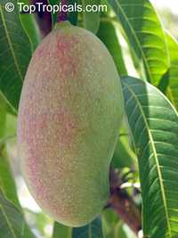 Mangifera indica - Valencia Pride Mango, Large size, Grafted  Click to see full-size image