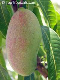 Mangifera indica - Valencia Pride Mango, Large size, GraftedClick to see full-size image