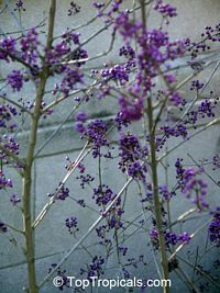 Callicarpa sp., Beautyberry