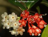 Anthopterus wardii, Neotropical Blueberry  Click to see full-size image