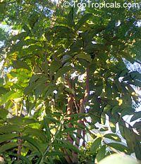 Carapa guianensis, Andiroba, Bastard-mahogany, Crabwood  Click to see full-size image