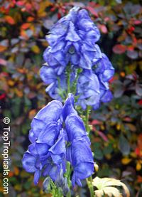 Aconitum sp., Monkshood, Wolfsbane  Click to see full-size image