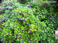 Callicarpa japonica, Japanese Beautyberry, Murasaki Shikibu  Click to see full-size image