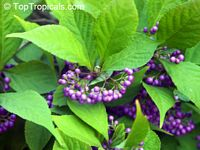 Callicarpa japonica, Japanese Beautyberry, Murasaki ShikibuClick to see full-size image