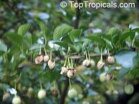 Styrax japonicus, Japanese Snowbell, Ego Noki  Click to see full-size image