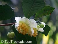 Camellia sinensis, Tea plant  Click to see full-size image