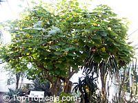 Uncarina grandidieri, Harpagophytum grandidieri, Mouse trap tree, Succulent SesameClick to see full-size image