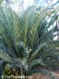 Encephalartos horridus, Eastern Cape Blue Cycad