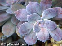 Graptopetalum sp., Graptopetalum  Click to see full-size image