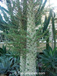 Fouquieria columnaris, Idria columnaris, Boojum Tree  Click to see full-size image
